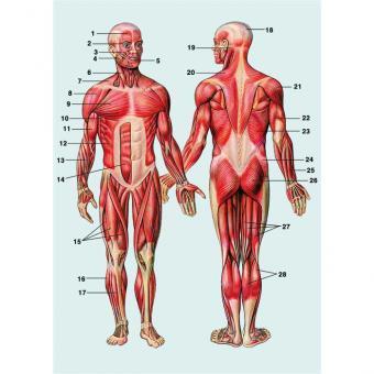 Bau und Funktion der Skelettmuskulatur