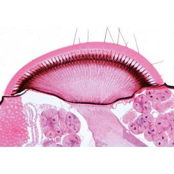 Facettenauge/Hornhaut 15 Mikropräparate im Kasten