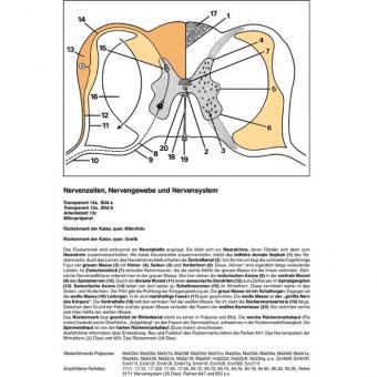 Nervenzellen, Nervengewebe und Nervensystem