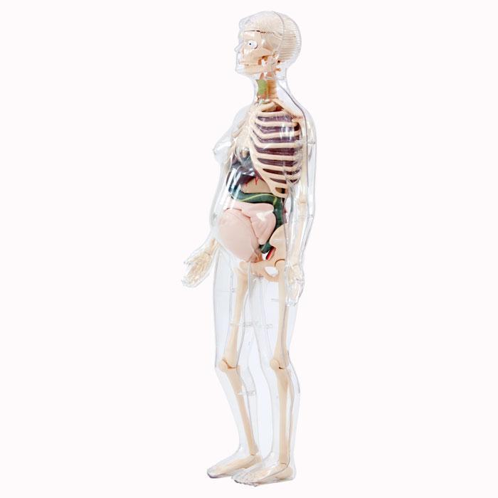 Schwangere Frau - Anatomie-Modell günstig online kaufen | backwinkel.de