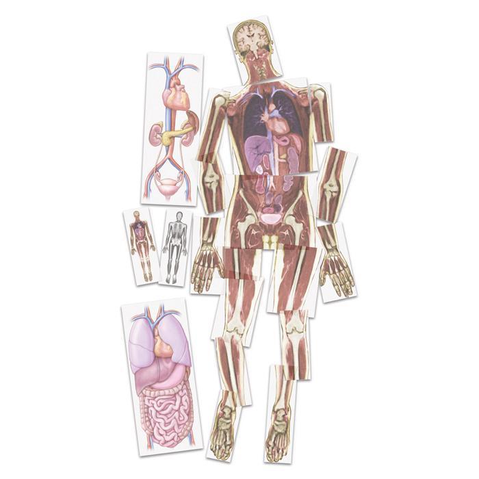 Kernspin-Bilder Mensch - Das Innere des Körpers wird sichtbar ...